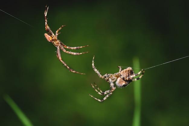 Macrofoto van twee spinnen