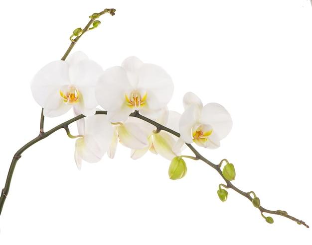 Macrofoto van witte orchidee. phalaenopsis geïsoleerd op een witte achtergrond