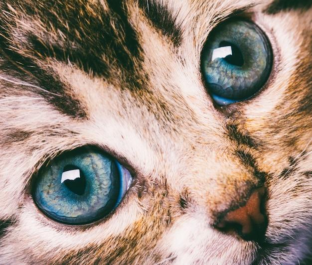 Macrofotografie leuk kattengezicht met blauwe ogenclose-up
