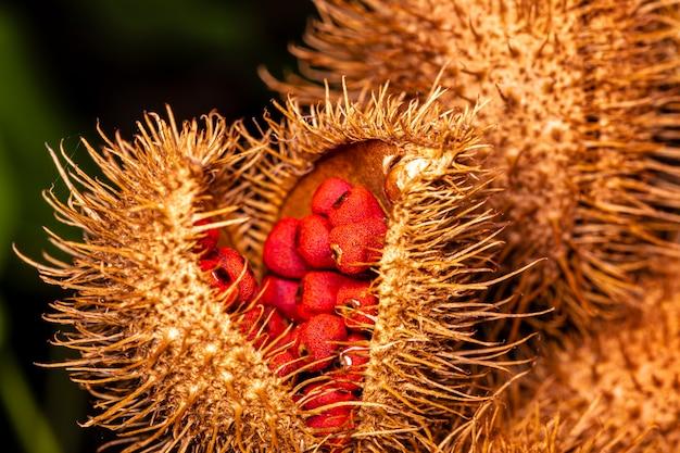 Macrofotografie van annatto, lippenstiftplant (bixa orellana), achiote of urucum.
