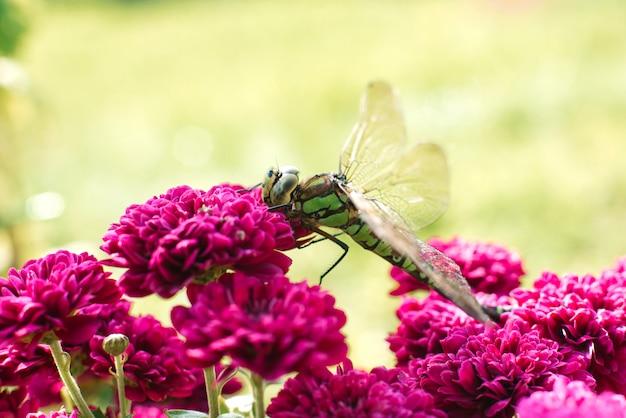 Macrofotografie van een groene libel op purpere chrysantenbloemen. libel in zijn natuurlijke omgeving