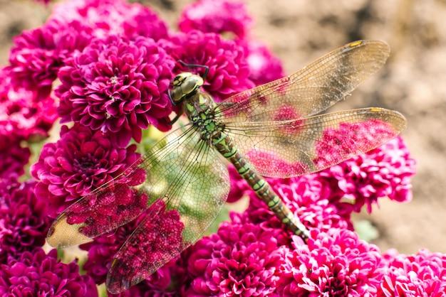 Macrofotografie van een groene libel op purpere chrysantenbloemen. libel in zijn natuurlijke omgeving.