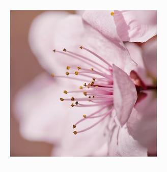 Macrofotografie van een lichtroze kersenbloesem op een mooie lentedag