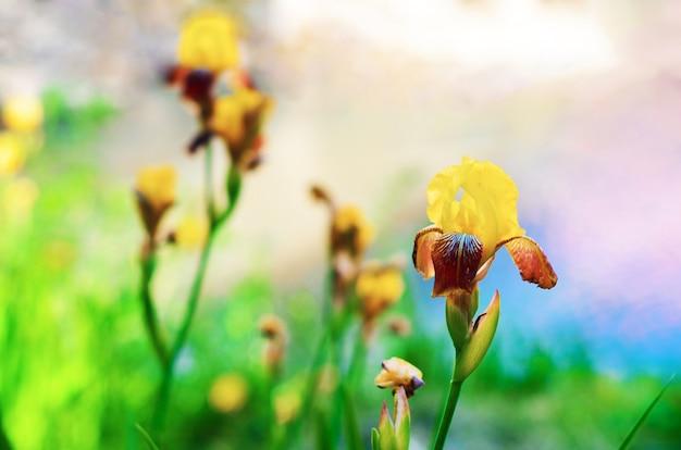 Macromening bloeiende irissen. lente landschap met een bos van gele bloemen.