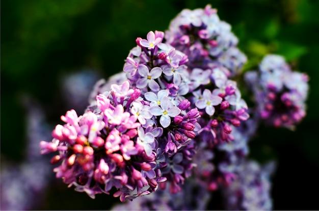 Macromening bloeiende sering. lente landschap met een bos van violette bloemen.