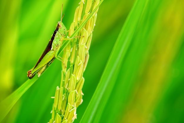 Macromening van de leven van de rijstsprinkhaan op de rijstachtergrond, selectieve nadruk.