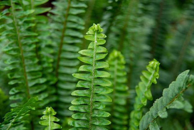 Macromening van groene varenbloemblaadjes. varen op de achtergrond van groene planten. nephrolepis exaltata. levendige varens close-up
