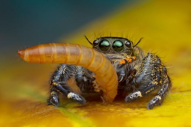 Macromeningbeeld van het springen van spin die worm op gele bladachtergrond eten in aard