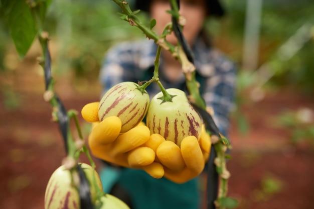 Macroschot van groene aubergines op de tak die door gloved handen van anonieme tuinman wordt gehouden