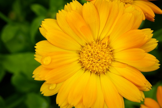 Macrospruit van calendula-bloem, calendula-officinalis of engelse goudsbloem op vage groene aard