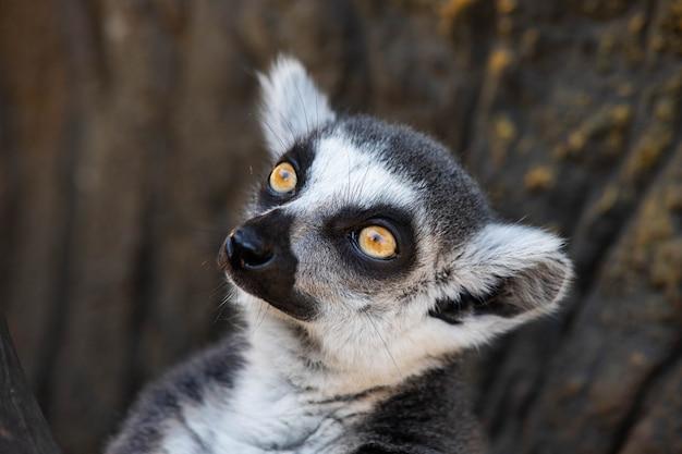 Madagascar maki met gele ogen close-up.