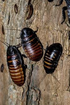 Madagaskar sissende kakkerlakken.
