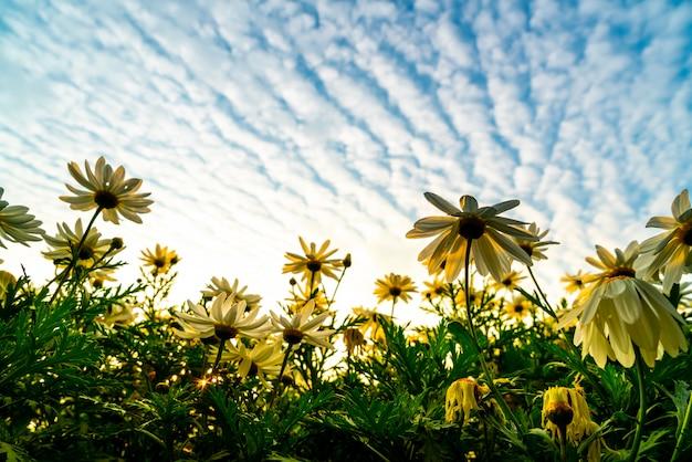 Madeliefjebloemen met zonsopganghemel