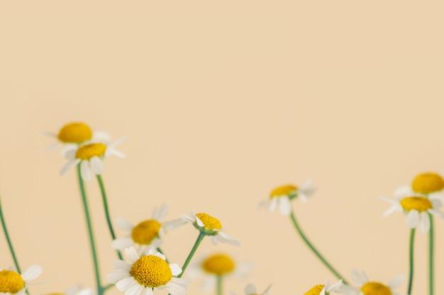 Madeliefjebloemen op een beige