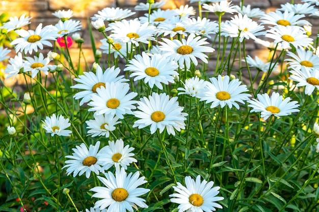 Madeliefjes in een zomerweide. bloeiende madeliefjes. natuur
