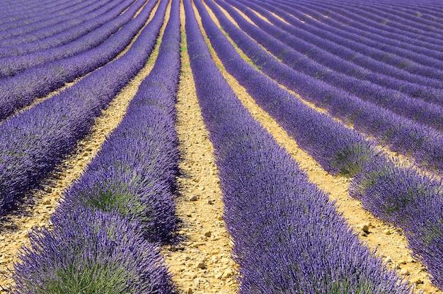 Mage toont een lavendelveld