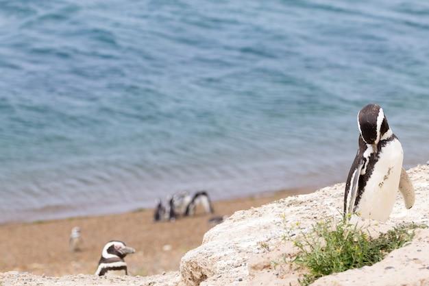 Magelhaense pinguïn uit de pinguïnkolonie caleta valdes, patagonië, argentinië. argentijnse dieren in het wild