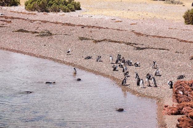 Magelhaense pinguïns. pinguïnkolonie punta tombo, patagonië, argentinië
