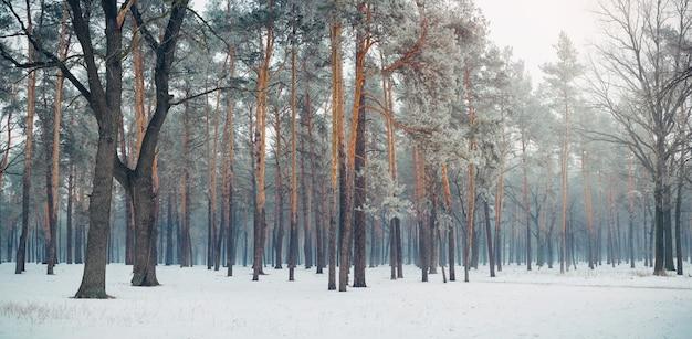 Magische dennenbos bedekt met sneeuw in de winter