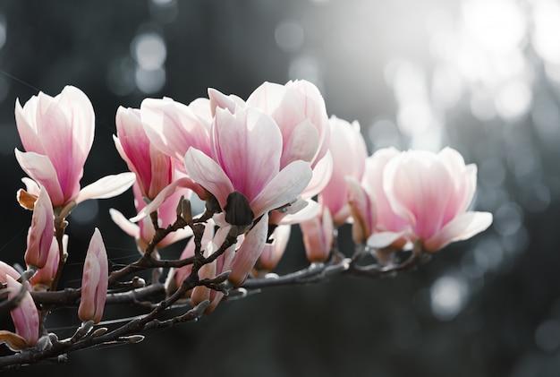 Magnolia bloemen in het voorjaar