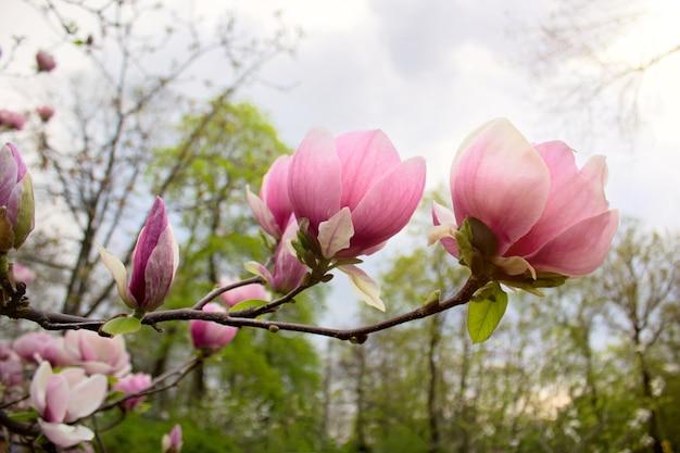 Magnolia bloemen in park op de lente