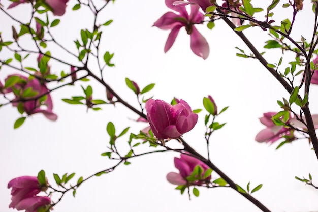 Magnolia bloemen op boomtakken