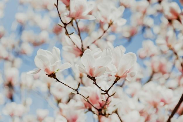 Magnolia roze bloesem boom bloemen