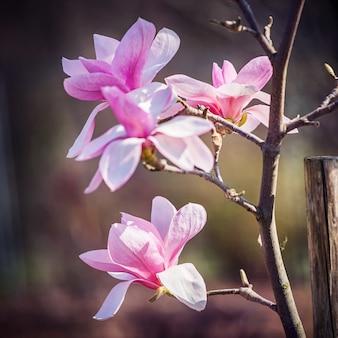 Magnoliabloem in het park bij de lente