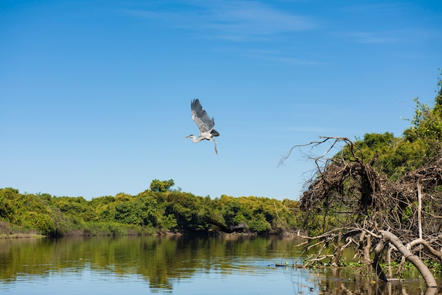 Maguari stork (c. maguari), opstijgend in pantanal (braziliaanse wetlands), in aquidauana, mato grosso do sul, brazilië