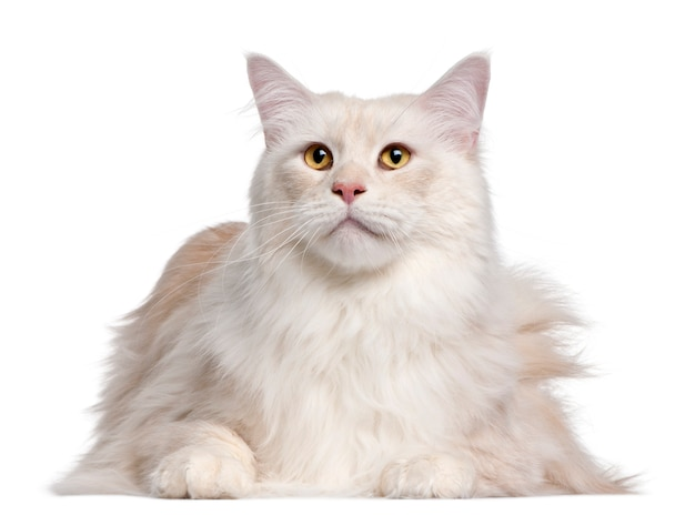 Maine coon-kat, 3 jaar oud,