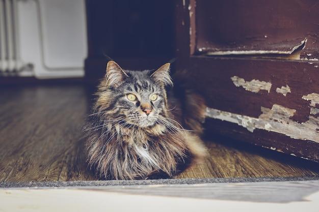 Maine coon-kat en oude deur. vintage plattelandskat, cyperse kat.
