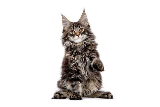 Maine coon-katje met opgeheven geïsoleerde voet