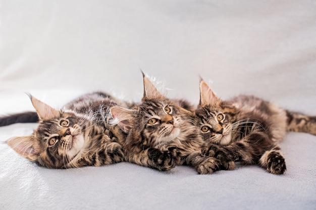 Mainecoon-familie drie kittens liggen op een lichte, donzige deken