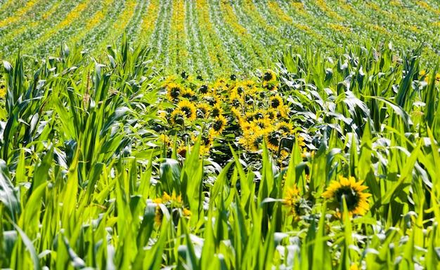 Maïs en zonnebloemen
