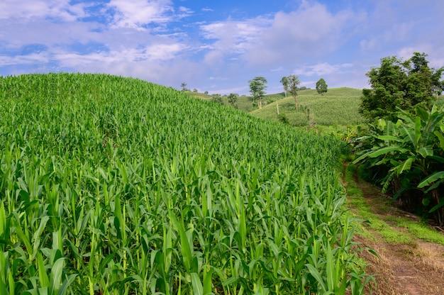 Maïs in het maïsveld, groen maïsveld op de blauwe hemelachtergrond.