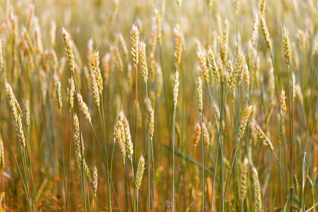 Maïs in oren buiten. de oren van gouden tarwe sluiten omhoog.