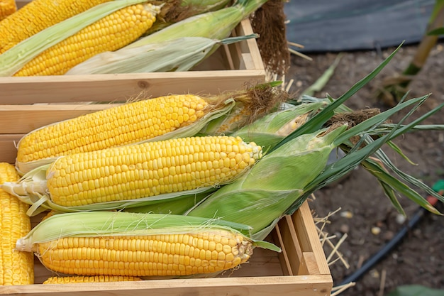 Maïs met gele peulen in een houten krat
