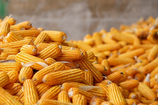 Maïs of maïs voor verwerking tot geel voer. sluit omhoog frame.