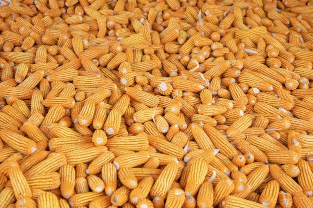 Maïs of maïs voor verwerking tot voeder