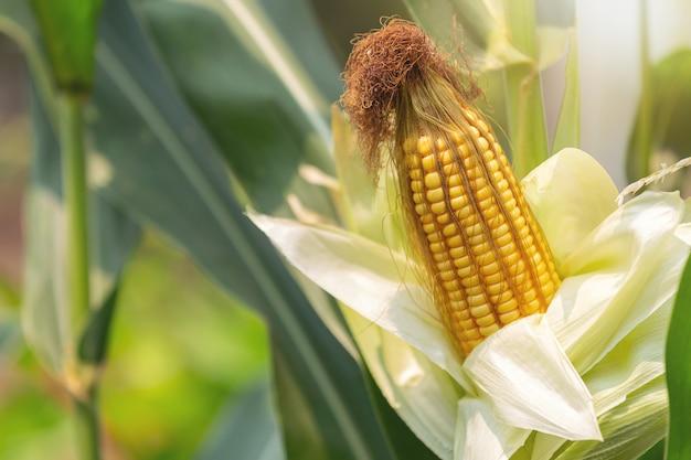 Maïs op de stengel klaar om te oogsten in het veld.