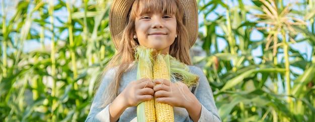 Maïs op het veld in de handen van een kind. selectieve aandacht.