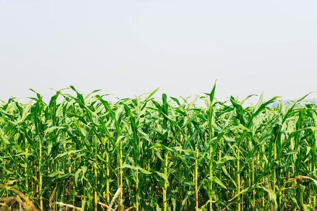Maïs plant in het maïsveld