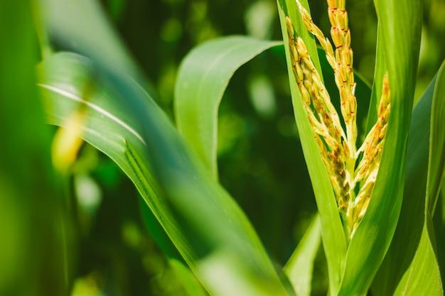 Maïs verbouwen. jonge groene bladeren