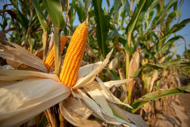 Maïs voor dierenvoeding, gele likdoorns als achtergrond.