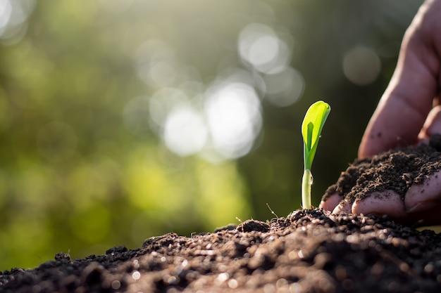Maïs zaailingen groeien uit vruchtbare grond.