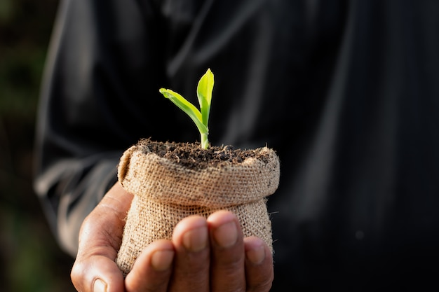 Maïs zaailingen groeien.