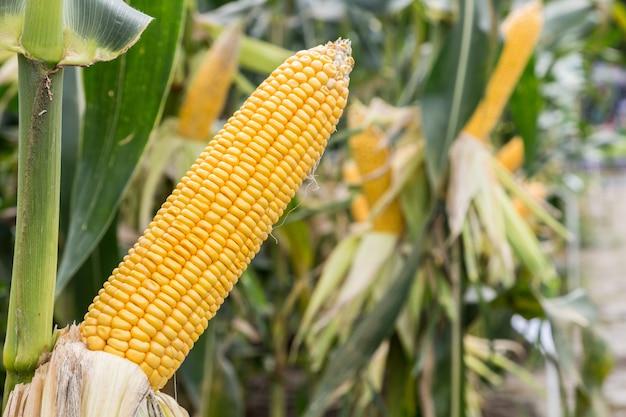 Maïskol op landbouwgebied
