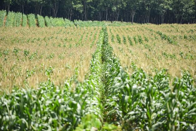 Maïskolf op maïsveld in plantage