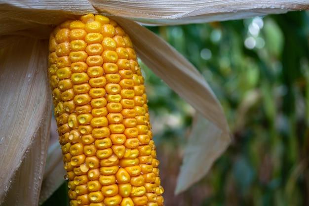 Maïskolven in een veld met dauwdruppels