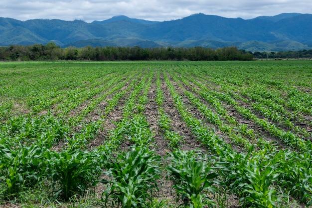Maïsplantage met uitzicht op de mantiqueira-bergen